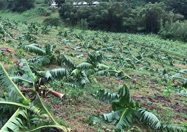 Ouragan Maria : les exploitations de Guadeloupe et Martinique sévèrement touchées.