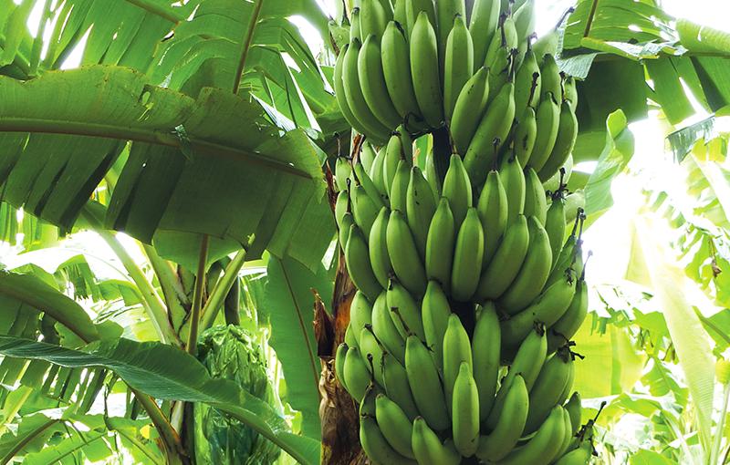 Une nouvelle variété de banane ?